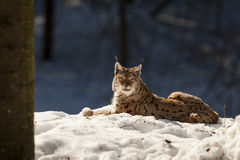 Lynx on the snow background while looking at you Stock Images