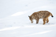 Lynx in the snow background while looking at you Royalty Free Stock Photo