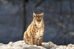 Lynx in the snow background while looking at you Stock Photo