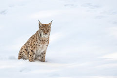 Lynx in the snow background while looking at you Royalty Free Stock Images