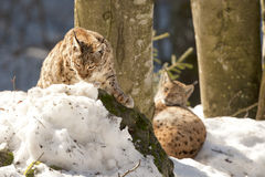 Lynx in the snow background while looking at you Royalty Free Stock Photography