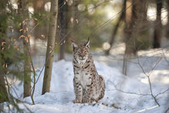 Lynx in the snow background while looking at you Royalty Free Stock Image