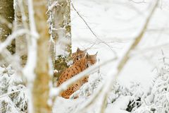 Lynx in snow forest. Eurasian Lynx in winter. Wildlife scene from Czech nature. Snowy cat in nature habitat. Mother with young, wi. Ld cat family. Lynx in nature Royalty Free Stock Photography