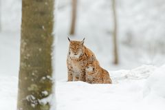Lynx in snow forest. Eurasian Lynx in winter. Wildlife scene from Czech nature. Snowy cat in nature habitat. Mother with young, wi Stock Photo