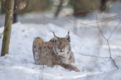 Lynx in the snow while hunting Stock Photos