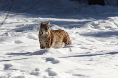 Lynx snow I Royalty Free Stock Photography