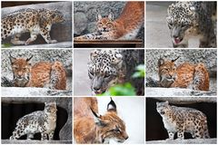 Lynx and Snow Leopard Stock Photography