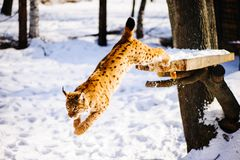 Lynx on the snow. Lynx on snow in winter outdoor Stock Images
