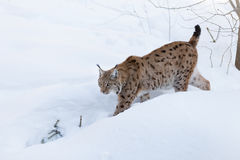 Lynx. In the snow in nature Stock Photos