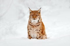 Lynx in snow. Portrait of Eurasian Lynx in winter. Wildlife scene from Czech nature. Snowy lynx in nature habitat. Detail close-up Royalty Free Stock Image