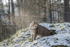 Lynx in snow Royalty Free Stock Image