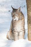Lynx in snow. Portrait of a watchful lynx sitting in the white snow under a tree in winter forest Stock Photos