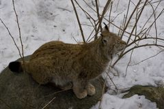 Lynx in the snow. Lynx sitting in the snow in Skansen museum forest in Stockholm Stock Photo