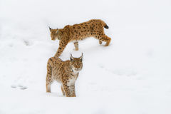 Lynx in the snow Royalty Free Stock Photo