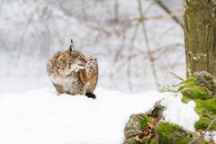Lynx in the snow Stock Images