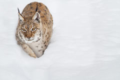 Lynx in the snow Stock Photography