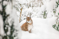 Lynx in the snow Royalty Free Stock Images