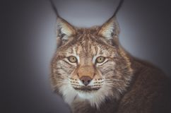 Lynx in snow winter forest. Lynx crouched in the snow winter forest seeing the next production Stock Image