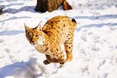 Lynx on the snow. Lynx on snow in winter outdoor Stock Photos