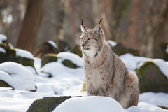 Lynx in the snow. Young lynx sitting in the snow of a winter forest Stock Photography
