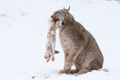 Lynx with snowshoe hare in mouth. Standing in snow Royalty Free Stock Photos