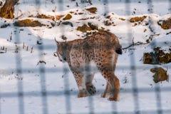 Lynx in snowy winter landscape, lynx enclosure near Rabenklippe, Bad Harzburg, Germany.  stock photo