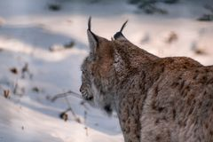 Lynx in snowy winter landscape, lynx enclosure near Rabenklippe, Bad Harzburg, Germany stock image