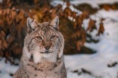 Lynx in snowy winter landscape, lynx enclosure near Rabenklippe, Bad Harzburg, Germany.  royalty free stock photo