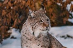 Lynx in snowy winter landscape, lynx enclosure near Rabenklippe, Bad Harzburg, Germany.  royalty free stock photos