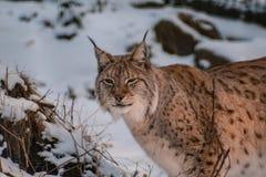 Lynx in snowy winter landscape, lynx enclosure near Rabenklippe, Bad Harzburg, Germany.  royalty free stock photography