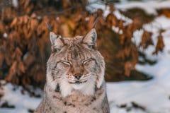 Lynx in snowy winter landscape, lynx enclosure near Rabenklippe, Bad Harzburg, Germany royalty free stock photos