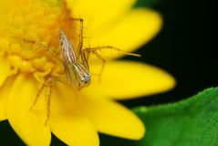 Lynx Spider Royalty Free Stock Photos