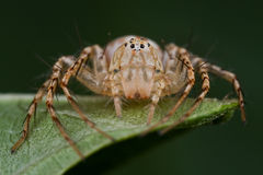 A lynx spider. Macro shot of a pale brown lynx spider Royalty Free Stock Photo