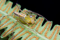 Lynx spider. Macro shot of a lynx spider on the underside of fern leaf Royalty Free Stock Photography
