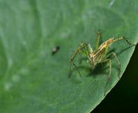Lynx Spider Stock Photography