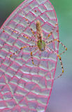 Lynx spider. Resting on plastic dragonfly wing Royalty Free Stock Photo