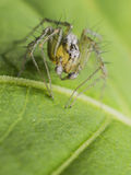 Lynx Spider. Macro Photo Of An Lynx Spider On A Green Leaf Royalty Free Stock Photography