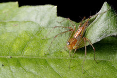 Lynx spider Royalty Free Stock Images