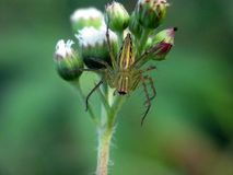 Lynx spider on Ageratum Conyzoides grass flower royalty free stock photography