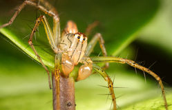 Lynx spider. A lynx spider close up Royalty Free Stock Photo