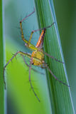Lynx spider Stock Photography