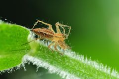 Lynx spider with dew in the park Stock Image