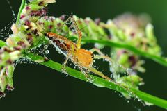 Lynx spider and dew in the park Stock Photo