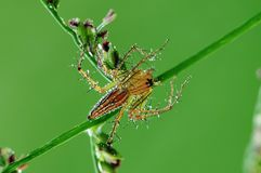 Lynx spider and dew in the park Stock Photography