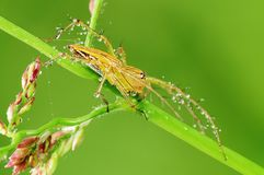 Lynx spider and dew in the park Royalty Free Stock Images