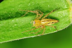 Lynx spider and dew in the park Royalty Free Stock Image