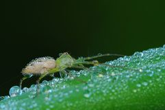 Lynx spider and dew in the park Stock Images