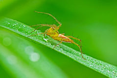 Lynx spider with dews. In the parks Stock Photo