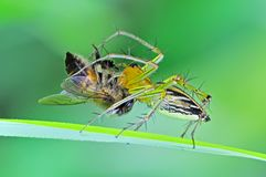 Lynx spider eating a bee Royalty Free Stock Images