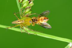 Lynx spider eating a bee in the park Stock Photos